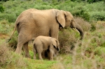 Elephants - Mama and Calf