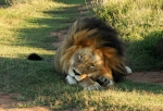 Lion Sleepy