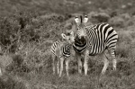 Zebra Mama and Foal
